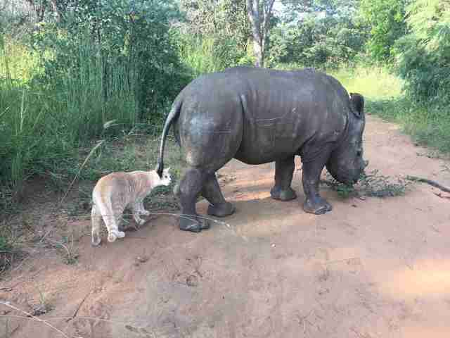 Rescue cat follows orphaned rhino