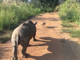 Rhino follows cat friend