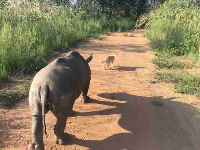 Rhino follows cat friend