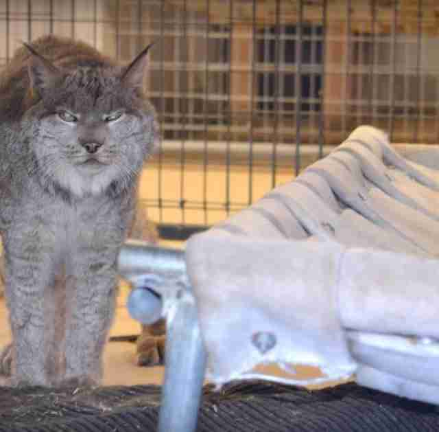 Lynx Kept As A Pet For 13 Years Walks Outside For The First Time