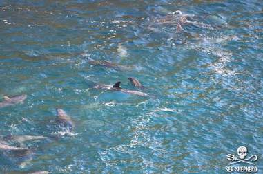 Mother and baby dolphin in the Taiji, Japan, hunt