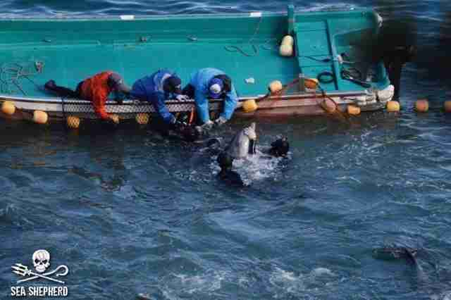 Dolphin taken captive in Taiji, Japan, hunt
