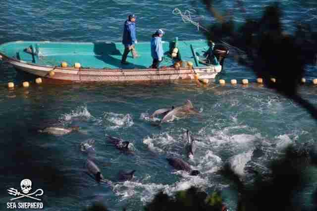 Dolphins held captive in Taiji, Japan, hunt
