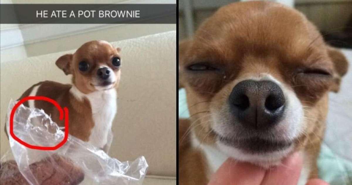 Your Dog Eats Pot Brownie