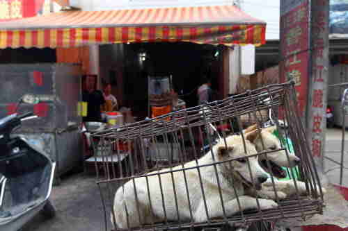 Dogs to be slaughtered for meat in Yulin, Guangxi province June 20, 2014. AP Images for HSI