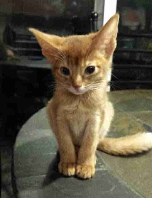 Battered Kitten Held In Pet Store Window With Price Tag - Kitten escapes pet store display to join lonely puppy
