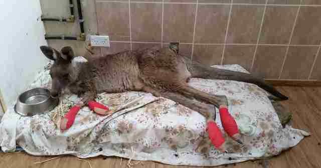 Kangaroos injured in fire