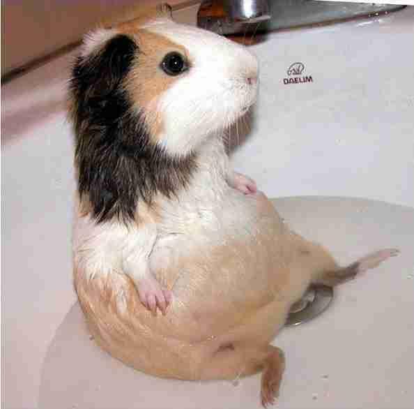 Squeaky clean guinea pigs soaking up a good bath the dodo