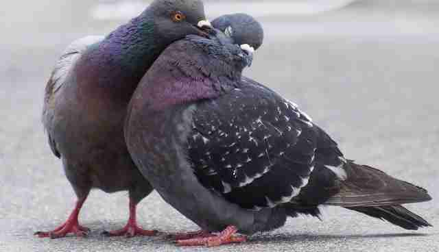21 incredible things you never knew about pigeons the dodo