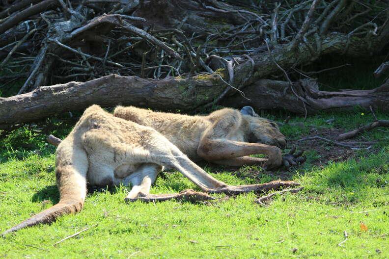 An emaciated kangaroo at South Lakes Safari Zoo