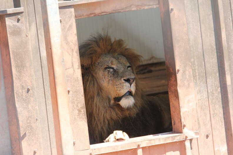 Lion in enclosure at South Lakes Safari Zoo