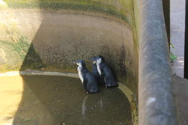 Penguins inside their pool enclosure at South Lakes Safari Zoo