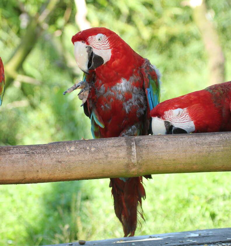 A parrot losing its feathers at South Lakes Safari Zoo
