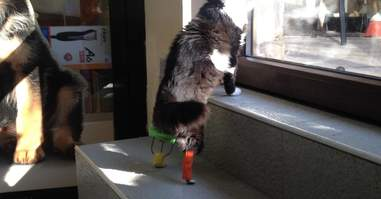 Pooh the cat with his new peg legs