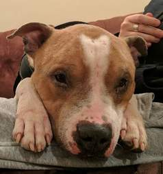 Russ the pit bull has bald spots on his nose and paws