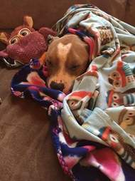 Russ the rescued pit bull sleeping under a blanket