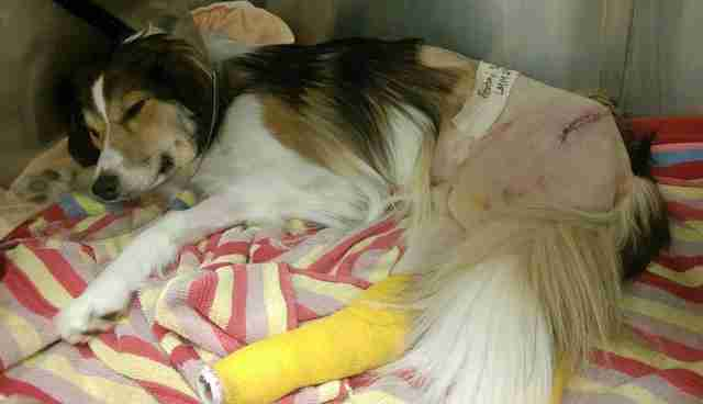 Marley in intensive care after being hit by a car, suffering serious wounds on his hind legs.
