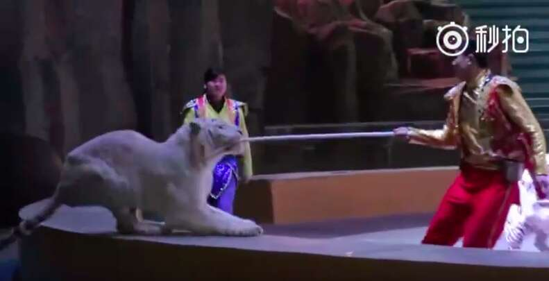 White tiger in Chinese circus turns on trainer
