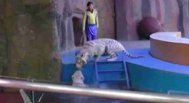 White tiger in Chinese circus checks on friend