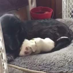 puppy with foster dog mom