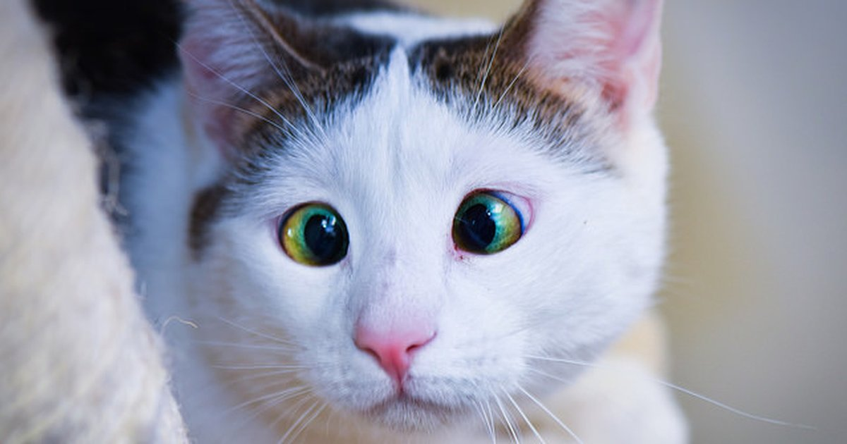 what does it mean when a cat folds its ears back