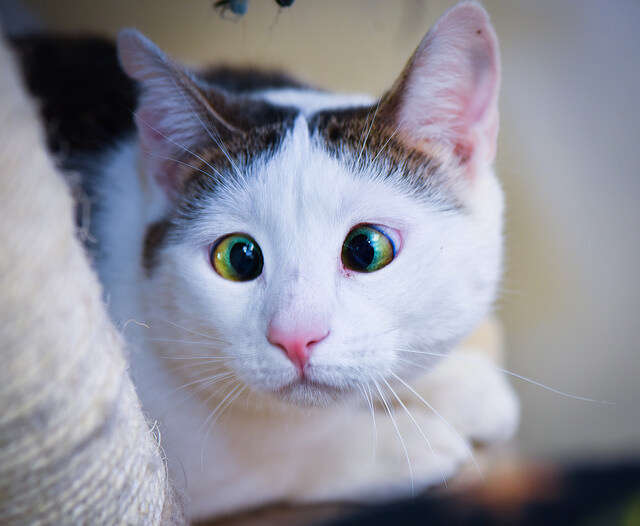 cross-eyed rescue cat