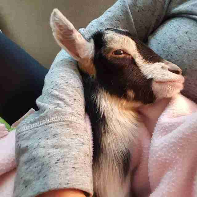 Rescue Goat With Anxiety Only Calms Down In Her Duck Costume The - Rescue goat suffers anxiety calms duck costume