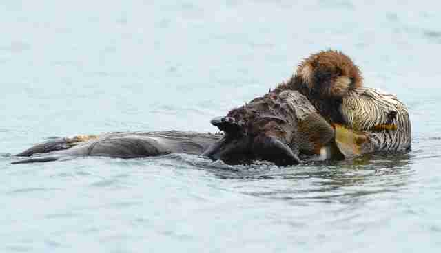 Sea Otters Hold Hands While Theyre Sleeping The Dodo