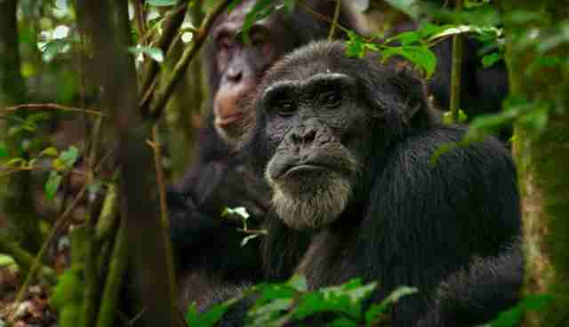 "chimpanzee from HBO documentary ""Unlocking the Cage"""
