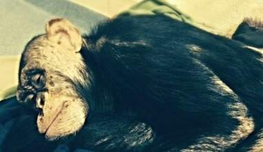 a captive chimp named Leo from nonhuman rights project