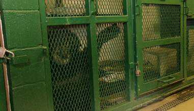 captive chimpanzee named tommy from unlocking the cage