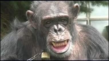 chimpanzee named kiko