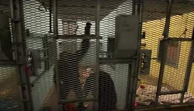 chimpanzees in unlocking the cage