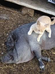 Cat lies on pig