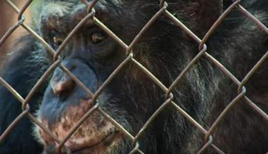 captive chimpanzee in unlocking the cage