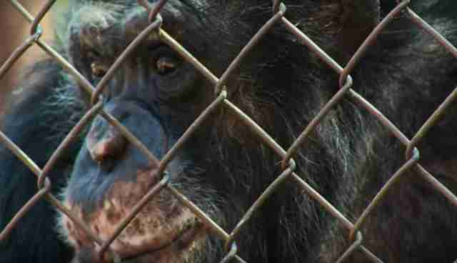 captive chimpanzee in unlocking the cage
