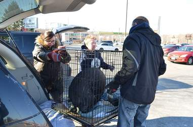 Pig being transported to new home