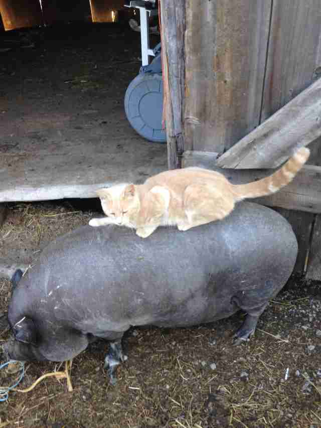 Cat riding on pig friend's back