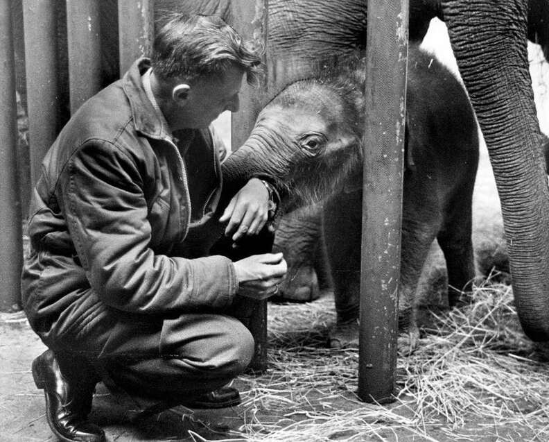 Packy as a young elephant at Oregon Zoo