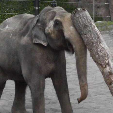 Packy the elephant at Oregon Zoo