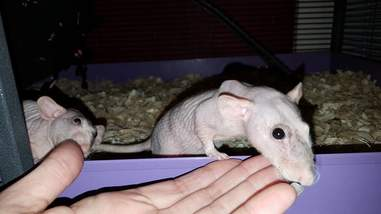 Naked pet rats abandoned by owner get rescued