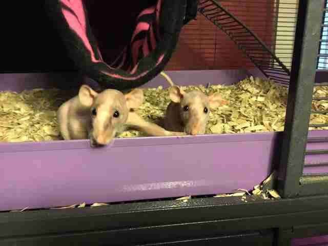 Abandoned naked rats at rescue center