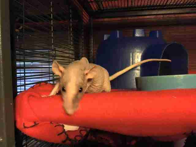 Abandoned naked rat at rescue center