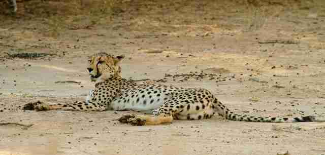 Cheetahs Are Going Extinct And No One Is Talking About It