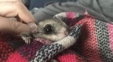 Flying squirrel being kept warm in a blanket