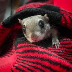 Flying squirrel snuggling with his rescuer