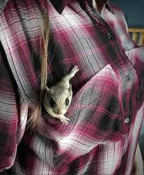 Flying squirrel in his rescuer's pocket