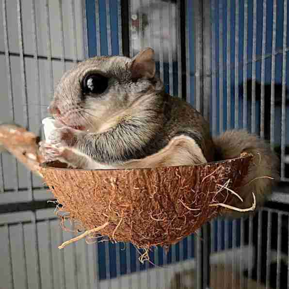 Rescued flying squirrel in his sugar glider cage