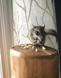 Rescued flying squirrel eating