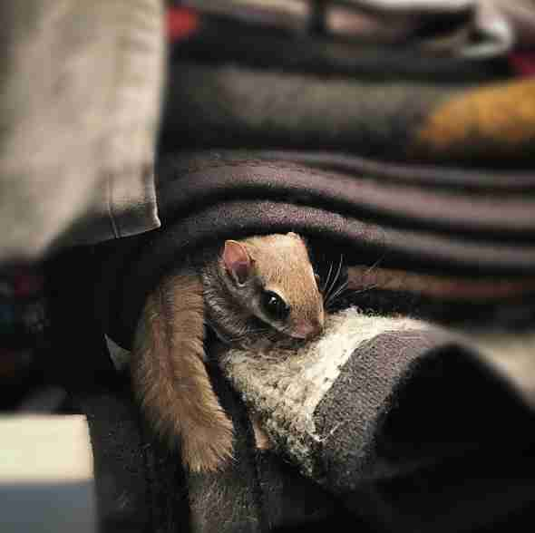 Rescued flying squirrel 'foraging' inside the house